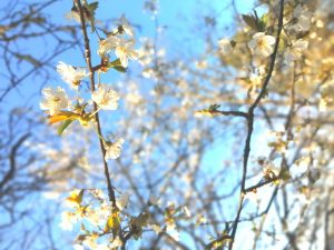 Arbres en fleurs à Retournac en avril